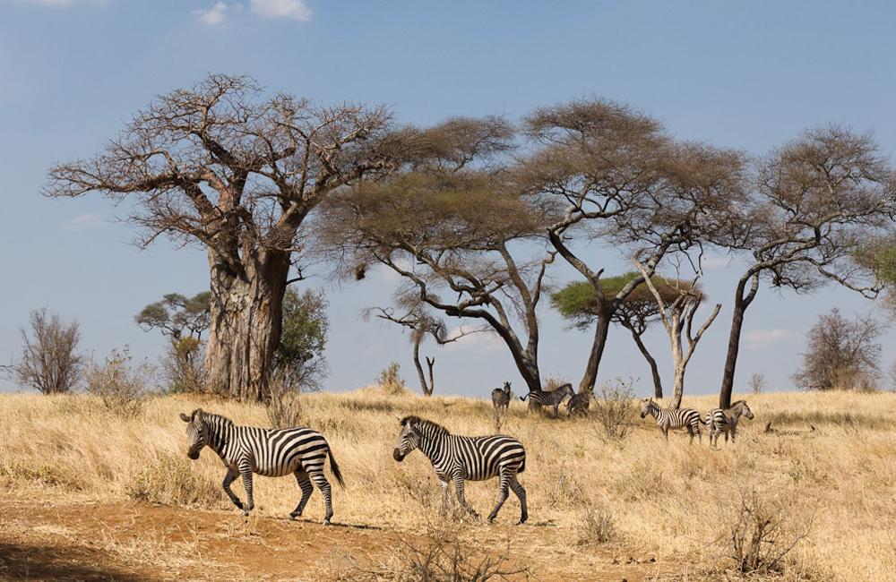 4 Days Camp or Lodge Safari to Manyara, Ngorongoro and Tarangire